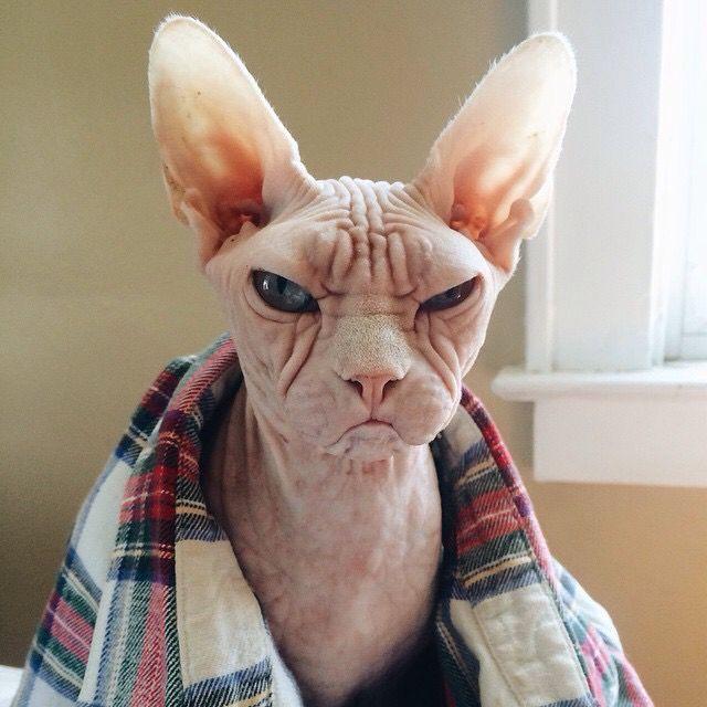 Днем, смешное фото кота сфинкса