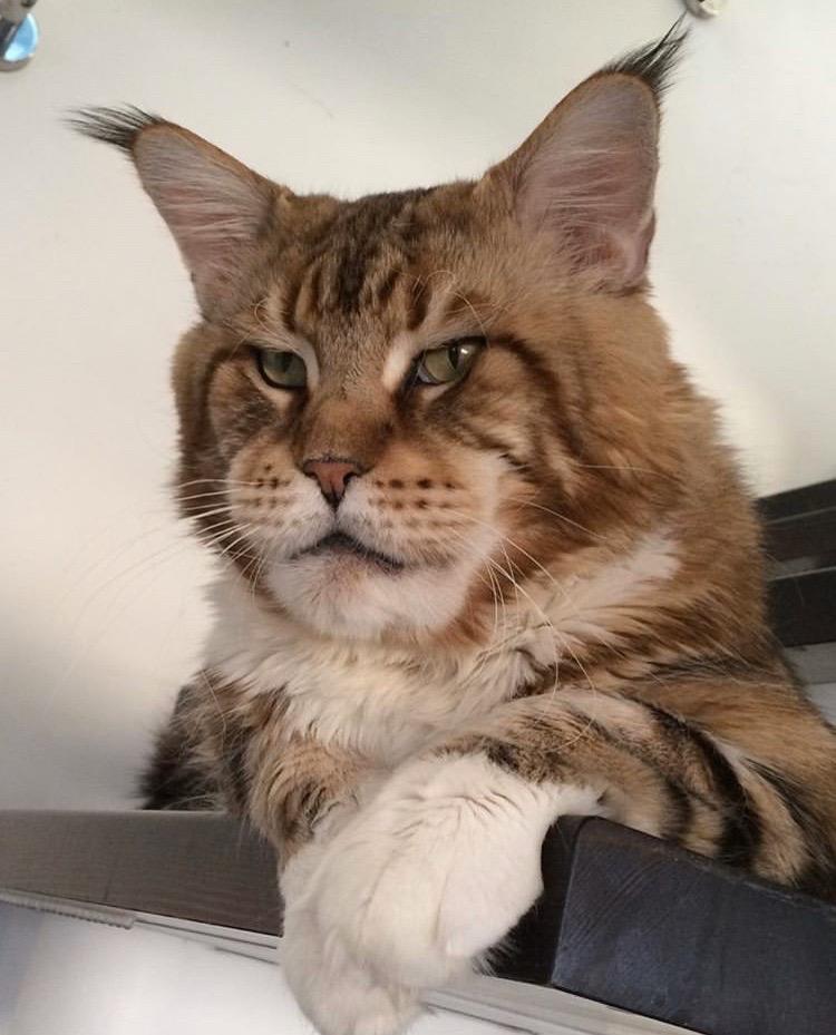 есть претензии коты с кисточками на ушах фото произвела большое впечатление